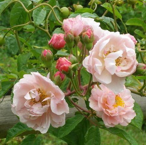 Rosa 'Cornélia' !!! 10072019