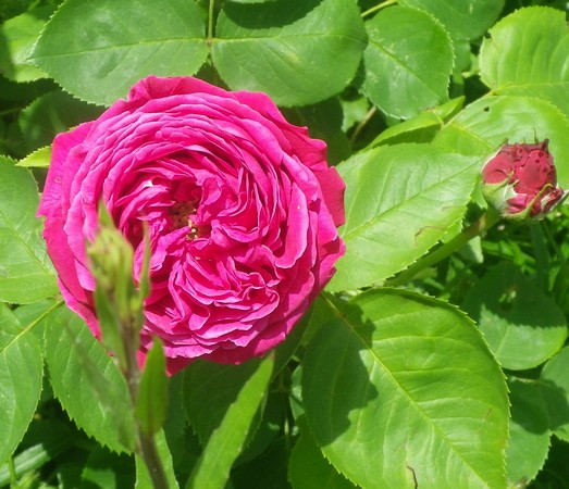 Rosa 'St-Médard' !!! 11052021