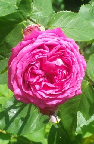 Rosa 'St-Médard' !!! 11052022