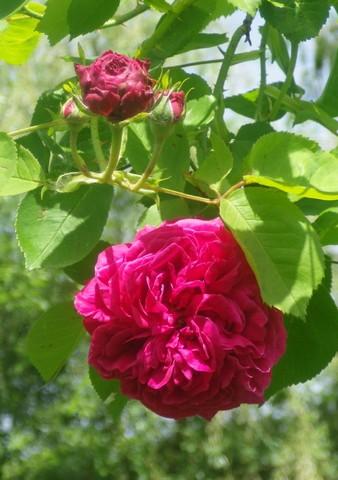 Rosa 'St-Médard' !!! 11052028