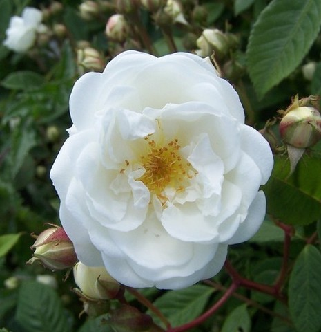 rosier Neige d Avril 11563-10