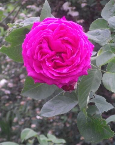 Rosa 'St-Médard' !!! 12052021
