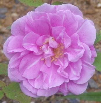 Rosa 'Thérèse Bugnet' !!! 12052024
