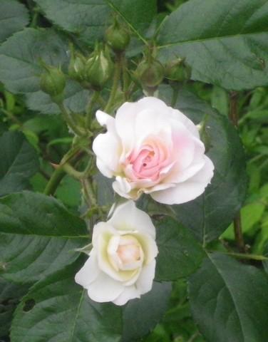 Rosa 'Bouquet Parfait' !!! 12052039