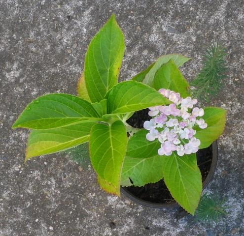Hydrangea macrophylla 'Ayesha' 13072012