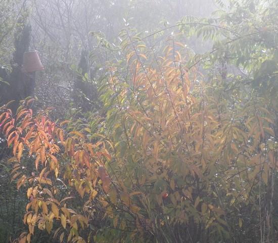 Prunus glandulosa 'alba plena' !!! 13112013