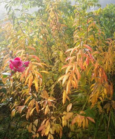 Prunus glandulosa 'alba plena' !!! 13112016