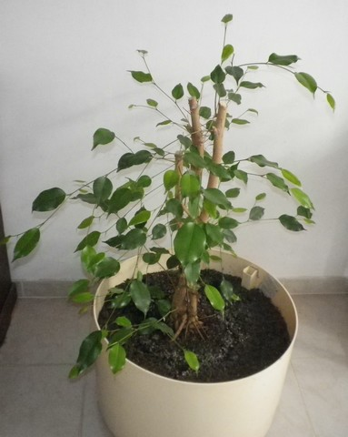 Ficus benjamina !!! 14112010