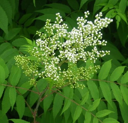 plante a identifier   703... Résolu     Sorbaria sorbifolia 'Sem' ! 19062023