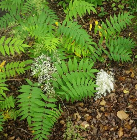 Sorbaria sorbifolia !!! 19062039