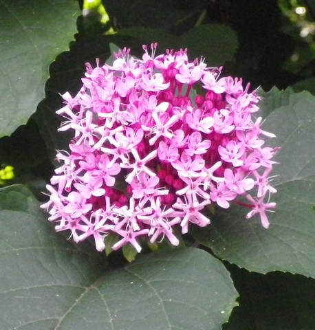 Clerodendron bungei !!! 19072023