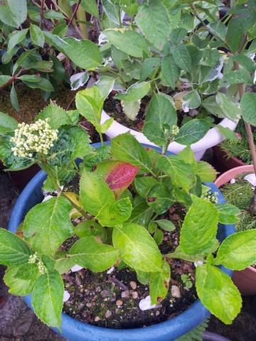 Hydrangea macrophylla 'Ayesha' 20120115