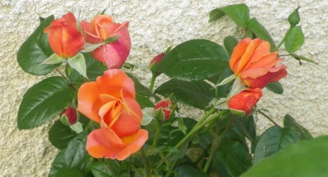 Rosa 'Sdeb' !!! 21062015