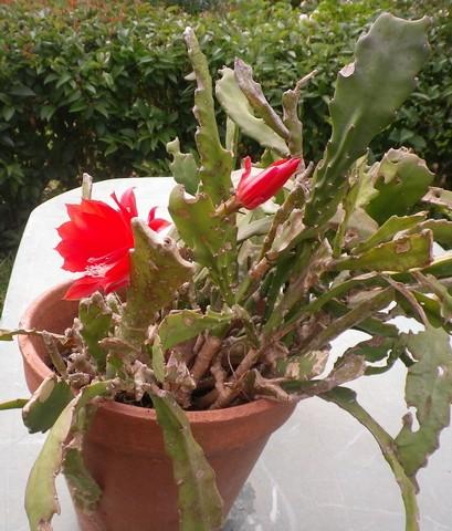 Epiphyllum !!! 21072016
