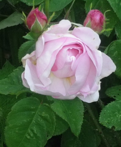 Rosa 'Constance Spry' !!! - Page 2 24052010