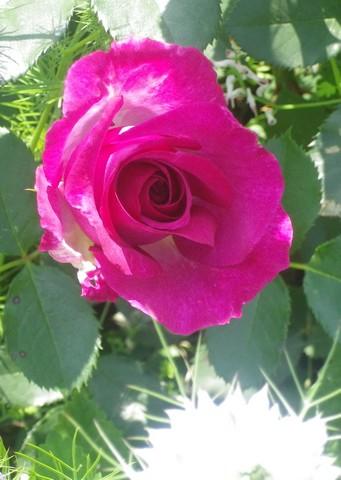 Rosa 'Violette Parfumée !!! 24052013