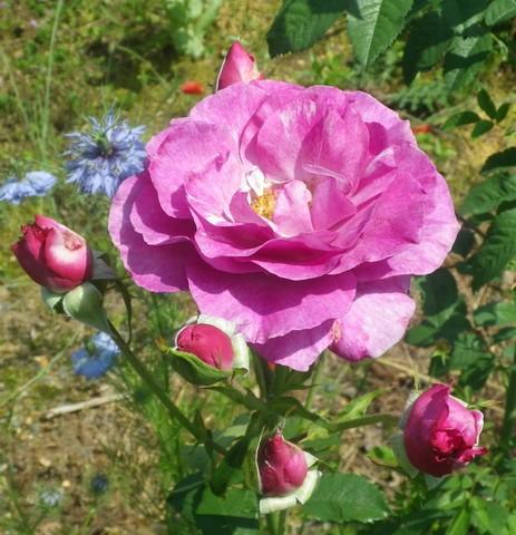 Rosa 'Violette Parfumée !!! 24052014