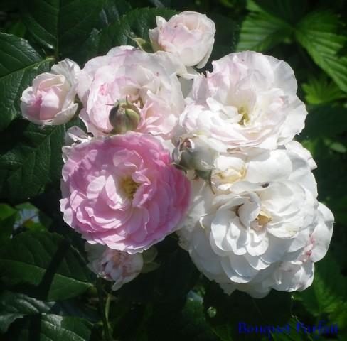 Rosa 'Bouquet Parfait' !!! 24052016