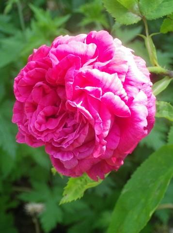 Rosa 'St-Médard' !!! - Page 2 24052017