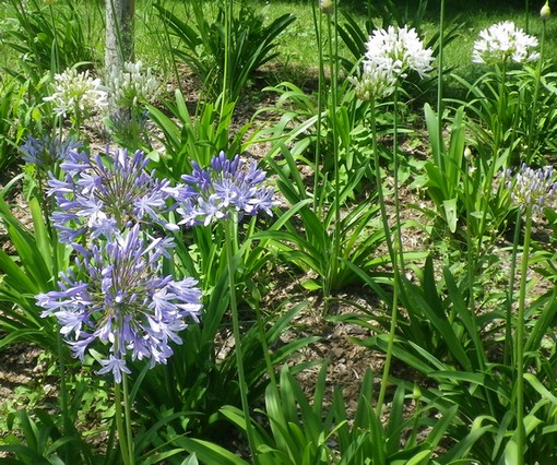 Agapanthus 2012 !!! - Page 2 25062010