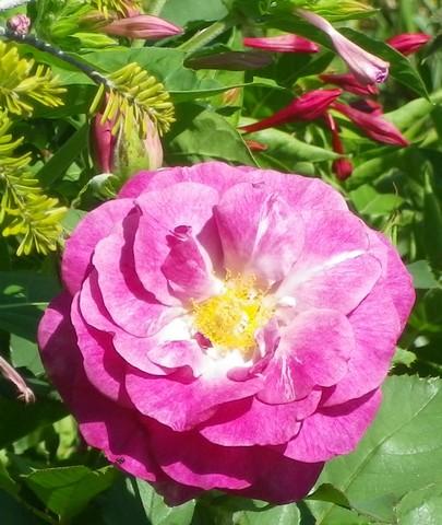 Rosa 'Violette Parfumée !!! 25072037