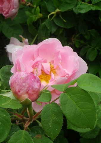 Rosa 'Constance Spry' !!! - Page 2 26052010