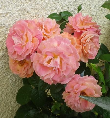 Rosa 'Sdeb' !!! 26062013