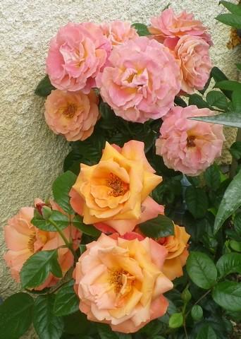 Rosa 'Sdeb' !!! 26062014
