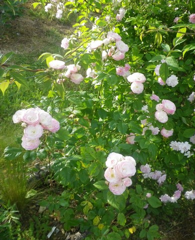 Rosa 'Bouquet Parfait' !!! 27052025