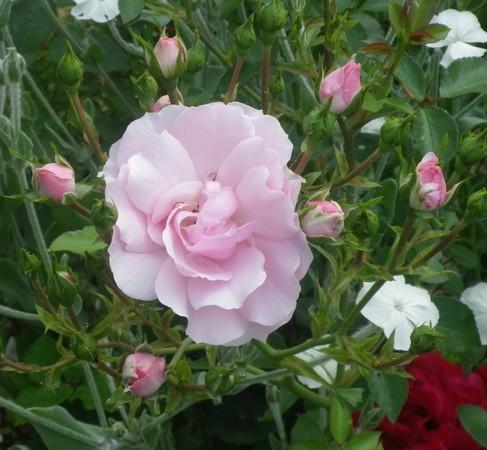 Rosa 'Bonica' !!! 30052019