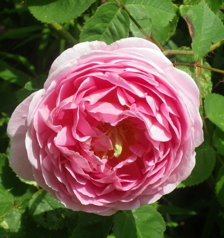 Rosa 'Constance Spry' !!! - Page 2 30052026
