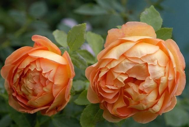 rosa 'lady of shalott' 34405_10
