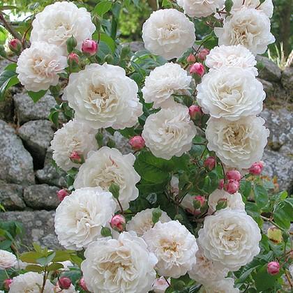 Rosa Félicité et Perpétue 4111_510