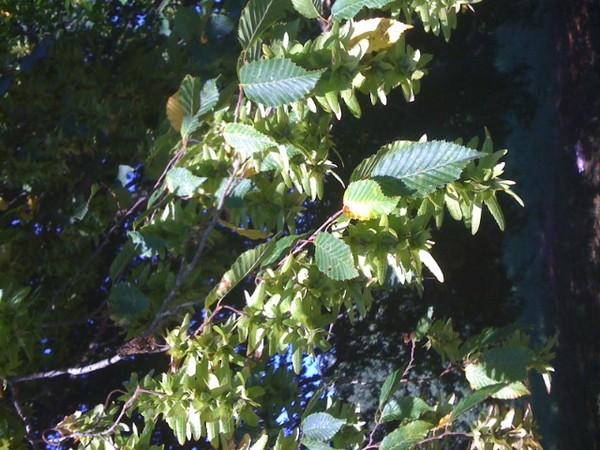 Nom de cet arbre ...... Carpinus betulus Arbre_11