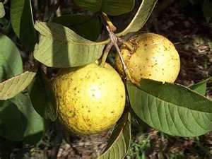 Connaissez-vous ce fruit ??? Devine10