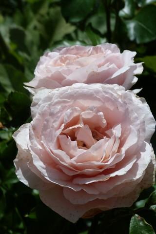 Rosa André le Notre P1090113