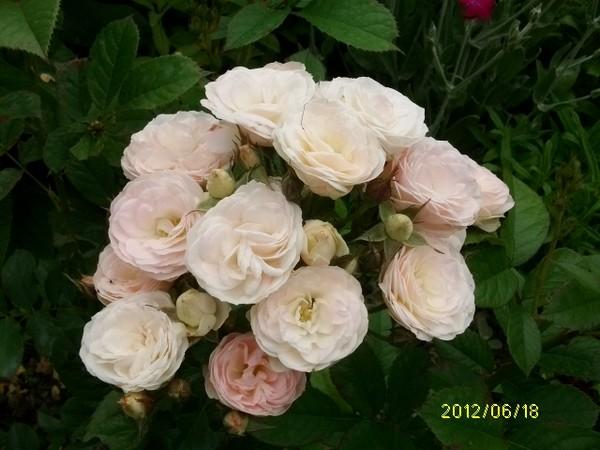 Rosa 'Bouquet Parfait' !!! Roses_10