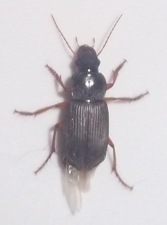 [Pseudoophonus rufipes] coleoptere dans salle de bain Imgp0416