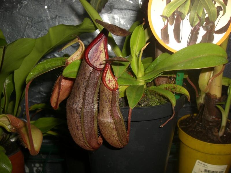 nepenthes sanguinea Cimg5211