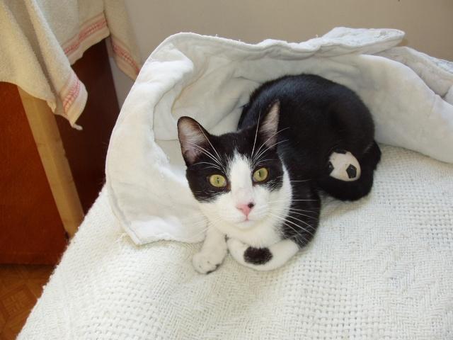 jeune chat mâle 6 mois 59 Gaya110