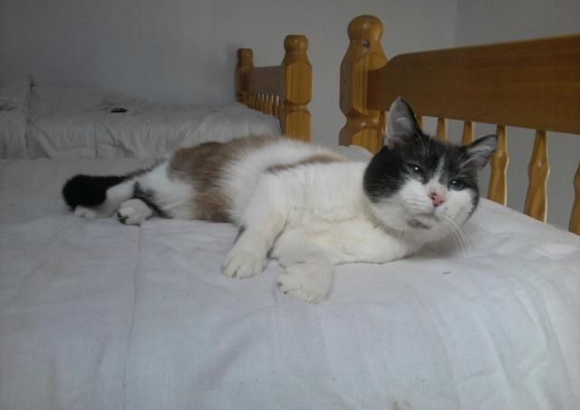 Isaac magnifique chat typé siam 62 coeur de félins Isaac10
