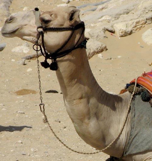 Bonaparte en Egypte à dromadaire - Page 2 Dromad10