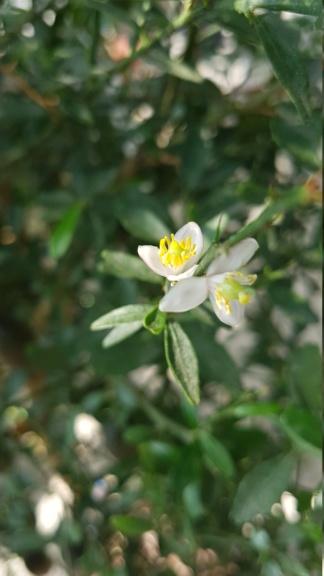 microcitrus australisica rose 20180827