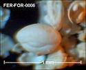 Foraminifères de FERCOURT (Oise) -forams Fer-fo15