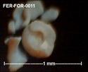 Foraminifères de FERCOURT (Oise) -forams Fer-fo20
