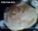 Foraminifères de FERCOURT (Oise) -forams Fer-fo34
