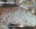 Ostracodes de FERCOURT (Oise)- ostracods Fer-os24