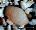 Ostracodes de FERCOURT (Oise)- ostracods Fer-os25