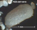 Ostracodes de FERCOURT (Oise)- ostracods Fer-os28