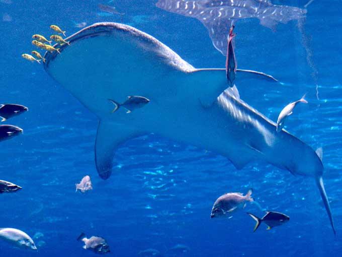 le requin baleine 2228